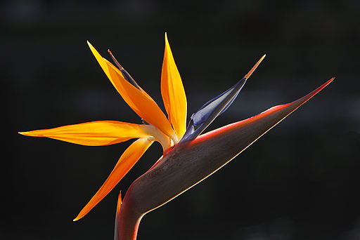 Bird_of_Paradise_flower
